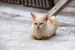 Arancione-chiaro con colore bianco del gatto che indica sulla terra concreta Immagini Stock