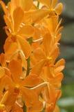 Aranda-Goldnugget-Orchidee Lizenzfreie Stockfotos