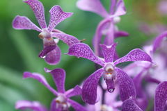 Aranda Kooi Choo Orchid. Aranda Kooi Choo, a hybrid orchid in the morning with water droplets on the petals Stock Image