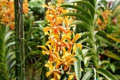 Aranda Panni orchids Stock Photo