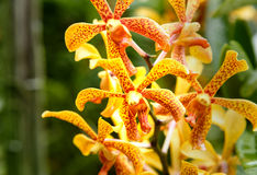 Aranda Panni orchids Stock Image