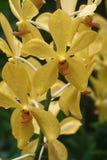 Aranda toppen gul orkidé Royaltyfria Bilder