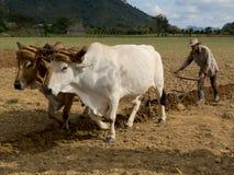 Arando con due oxes legati da un giogo Fotografia Stock Libera da Diritti