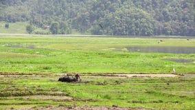 arando con el buey, Pokhara, Nepal almacen de metraje de vídeo