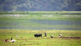 arando con el buey, Pokhara, Nepal metrajes