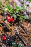Arando em arbustos Foto de Stock Royalty Free