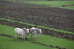 Arando o campo do arroz imagens de stock royalty free