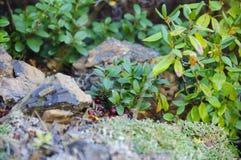 Arandos da baga, baga selvagem orgânica Imagem de Stock Royalty Free