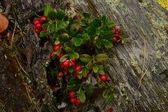 Arandos de Bush com as bagas vermelhas no tronco velho de um pinho caído Imagens de Stock Royalty Free