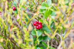 Arandos de montanha Bagas vermelhas comestíveis Bagas úteis da floresta Vitis-idaea do Vaccinium Imagem de Stock