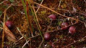 Arandos Profundamente - fundo natural vermelho fotografia de stock