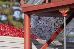 Arandos que voam no caminhão após a colheita Imagens de Stock