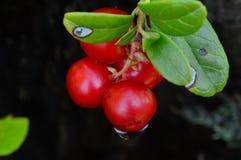 Arandos selvagens das bagas em gotas de orvalho do verão Fotografia de Stock