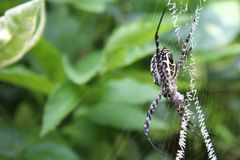 Araneae, a big spider on its web with its prey. Spider resting on its newly build web with its prey Royalty Free Stock Photo
