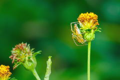 Araneae, Spider on a flower. Spider,Insect,bug of Thailand Stock Photos