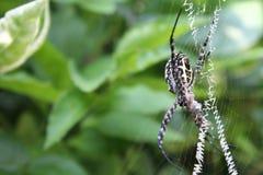 Araneae, un grande ragno sul suo web con la sua preda Fotografia Stock Libera da Diritti