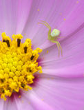 araneid λουλούδι Στοκ φωτογραφία με δικαίωμα ελεύθερης χρήσης