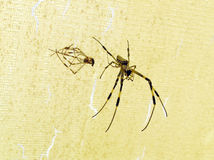 Araneid. The two spiders crawling closeup royalty free stock photos