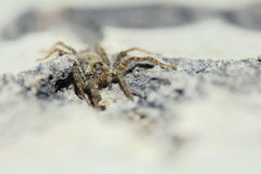 Araneid. A brown spider lurks on the bark Royalty Free Stock Image
