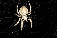 Araneid. Spider is waiting for prey at the network in night Royalty Free Stock Image