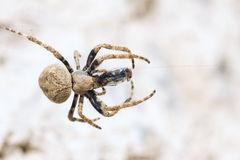 Araneid. A spider is catching a fly. Scientific name: Araneus ventricosus Royalty Free Stock Photography
