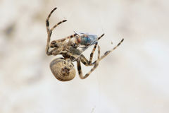 Araneid. A spider is catching a fly. Scientific name: Araneus ventricosus Stock Photos