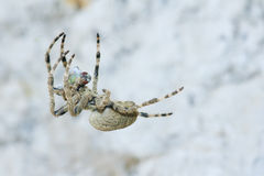 Araneid. A spider is catching a fly. Scientific name: Araneus ventricosus Stock Image