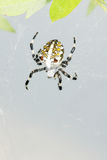 Araneid. The close-up of a garden spider Stock Photography