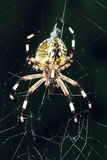 Araneid. The close-up of a garden spider on its cobweb Stock Photo
