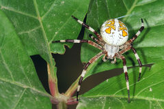 Araneid. The close-up of a garden spider on leaves Royalty Free Stock Photos