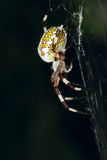 Araneid. The lateral close-up of a garden spider on its cobweb Royalty Free Stock Photos