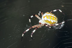 Araneid. The lateral close-up of a garden spider on its cobweb Stock Photos