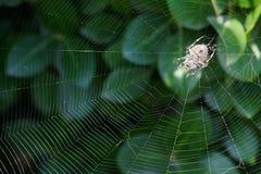 Araneid. A spider in its web. Scientific name: Araneus ventricosus Stock Images