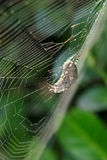 Araneid. A spider in its web. Scientific name: Araneus ventricosus Royalty Free Stock Photography