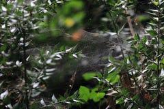 Araneidae Royalty Free Stock Photo