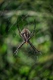 Araneus蜘蛛 免版税图库摄影