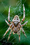 Araneus Angulatus Stock Images