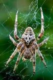 Araneus Angulatus. Close up of a spider Araneus Angulatus Stock Images