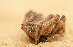 Araneus angulatus. Big spider with his victim Stock Photo