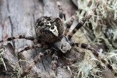 Araneus Angulatus On Pine Wood Royalty Free Stock Photography