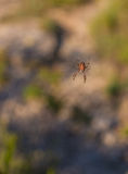 Araneus ceropegius spider Royalty Free Stock Photo