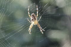 Kreuzspinne. Araneus diadematu - close uo of a spider Stock Images