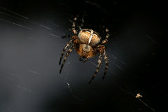 araneus diadematus蜘蛛 免版税库存照片
