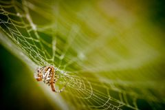 Araneus Diadematus - λίγη αράχνη στο υγρό δίκτυο Στοκ φωτογραφία με δικαίωμα ελεύθερης χρήσης