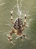 Araneus Diadematus Royalty Free Stock Photos