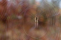 Araneus diadematus fotografia stock
