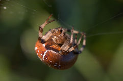 Araneus Diadematus Stock Photo