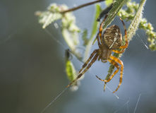 Araneus diadematus Stock Images
