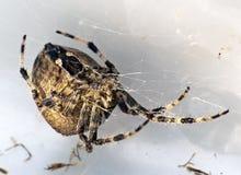 Araneus diadematus. The spider( Araneus diadematus) is hiding place Stock Image