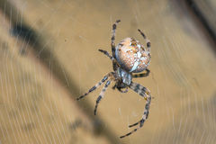 Araneus diadematus Royalty Free Stock Image